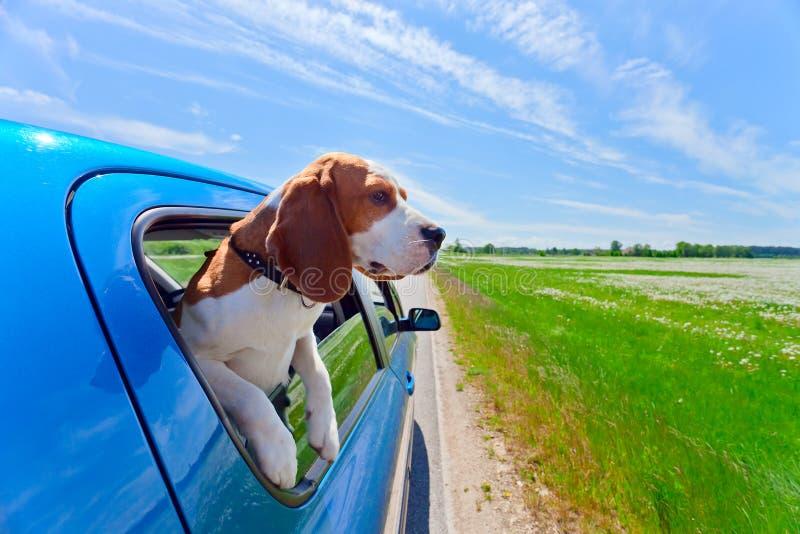 Cane da lepre in automobile blu fotografie stock libere da diritti