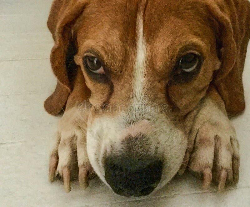 Cane da lepre bruno-rossastro sveglio che pone meditatamente sul pavimento fotografia stock libera da diritti