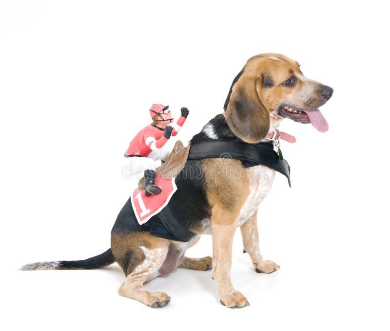 Cane da lepre con la puleggia tenditrice fotografie stock