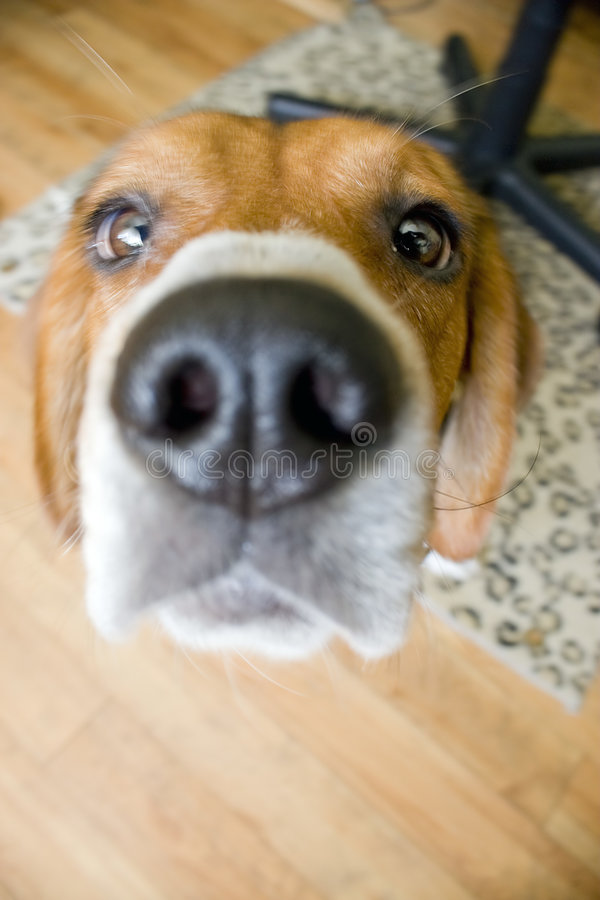 Cane da lepre curioso fotografia stock