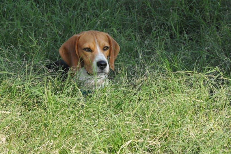 Cane da lepre in erba alta immagine stock libera da diritti