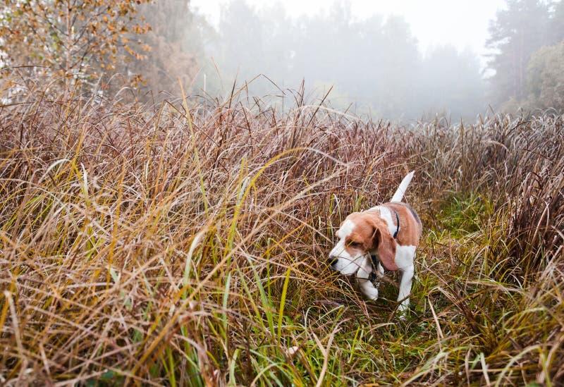 Cane da lepre in foresta fotografia stock