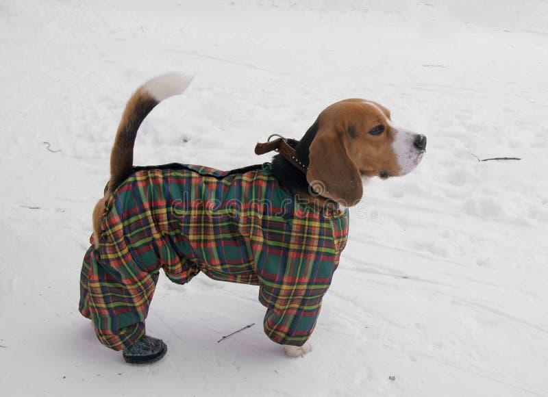 Cane da lepre nel vestito di inverno fotografie stock libere da diritti