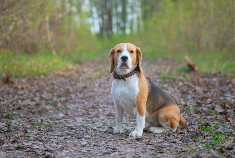 Cane da lepre per un parco della passeggiata in primavera fotografia stock