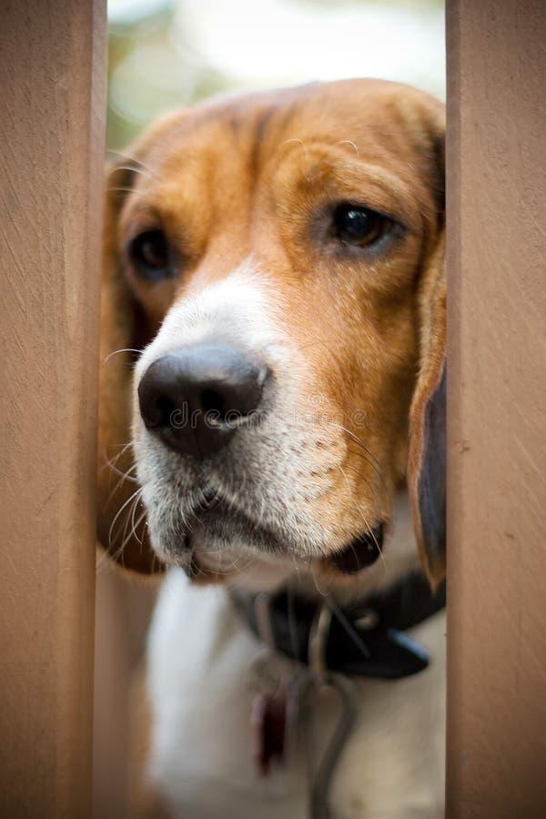 Cane da lepre triste fotografia stock libera da diritti