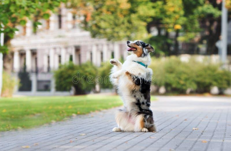Cane da pastore australiano che posa nel parco fotografie stock
