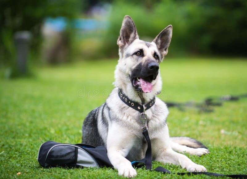 Cane da pastore che si trova sulla terra fotografia stock