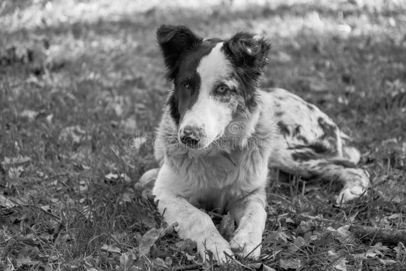Cane da pastore del cucciolo in un tempo di resto fotografia stock
