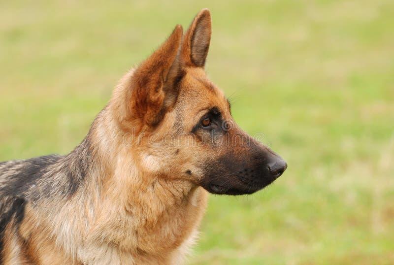 Cane da pastore tedesco fotografia stock libera da diritti