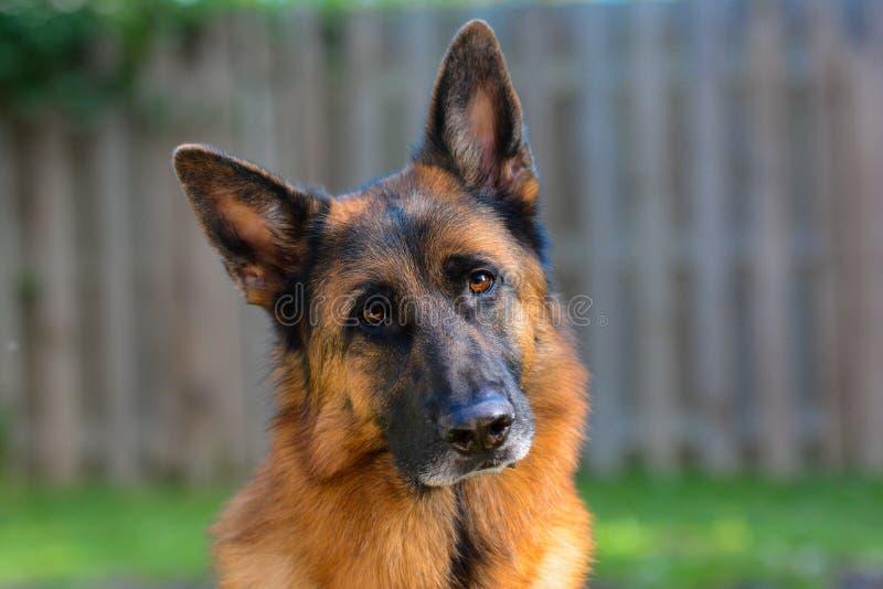 Cane da pastore tedesco che guarda direttamente alla macchina fotografica immagine stock libera da diritti