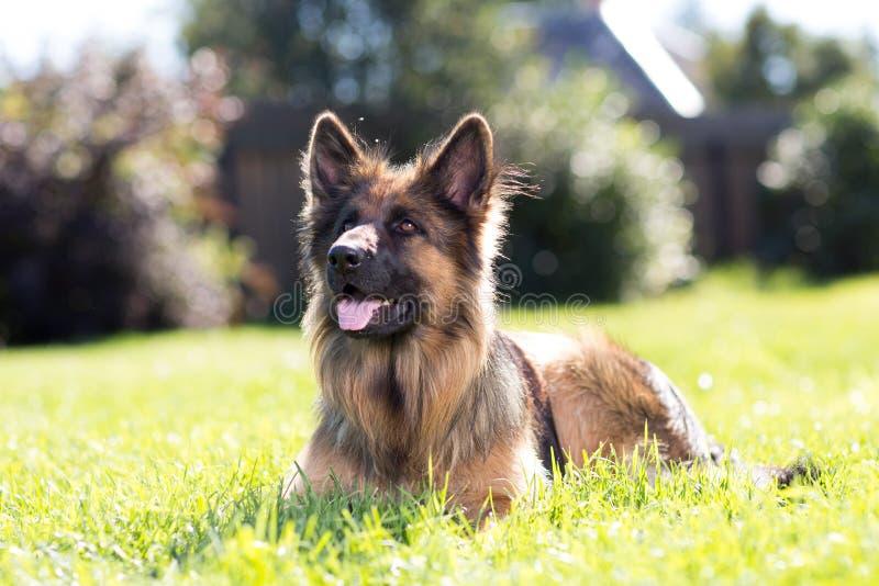 Cane da pastore tedesco fuori sul prato inglese immagine stock