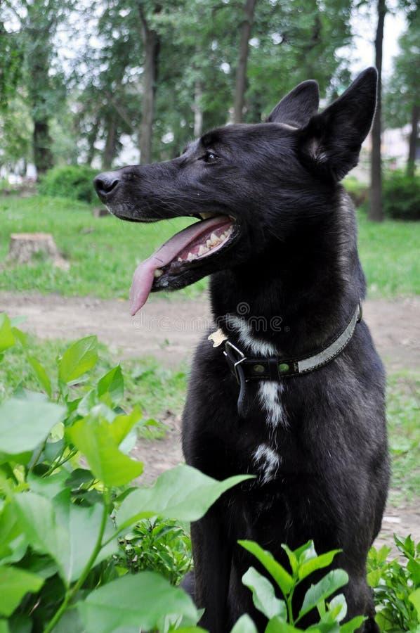 Cane da pastore tedesco, grande museruola fotografie stock