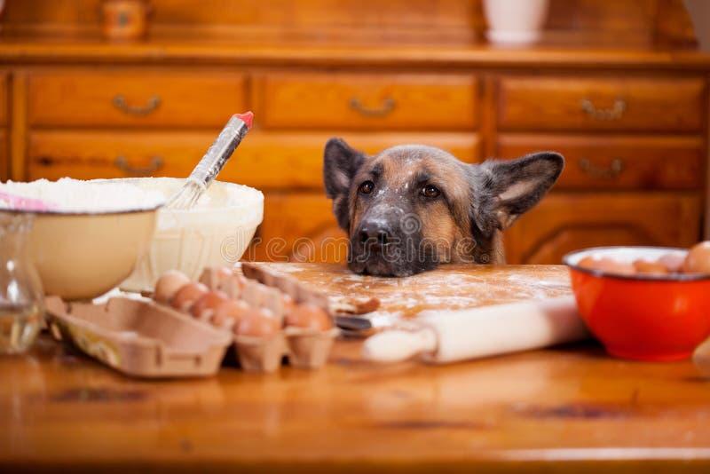 Cane da pastore tedesco maligno abbastanza un disordine nella cucina immagine stock libera da diritti
