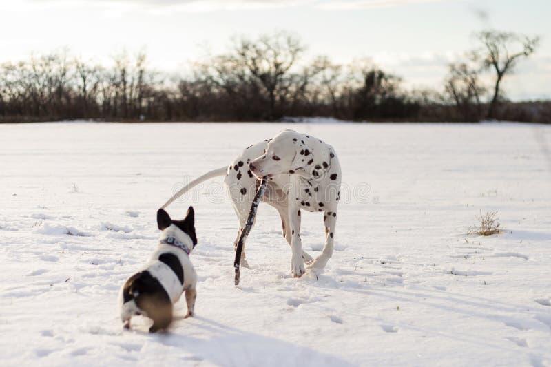 Cane dalmata che gioca con un bastone, con un bulldog francese immagine stock libera da diritti