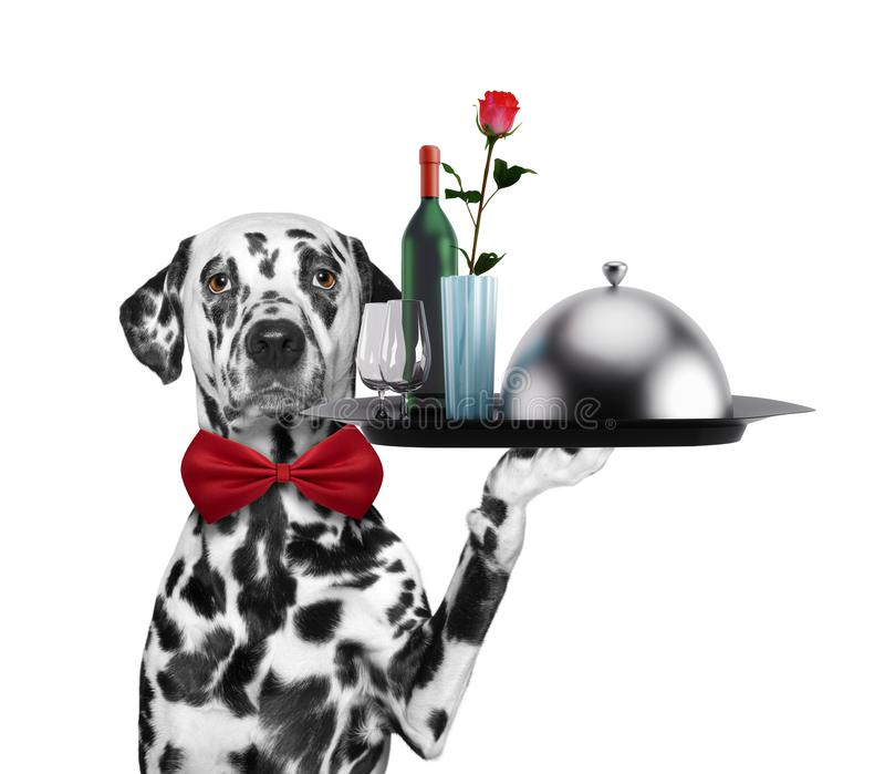 Cane dalmata del cameriere con i piatti, il vino e la rosa Isolato su bianco immagini stock