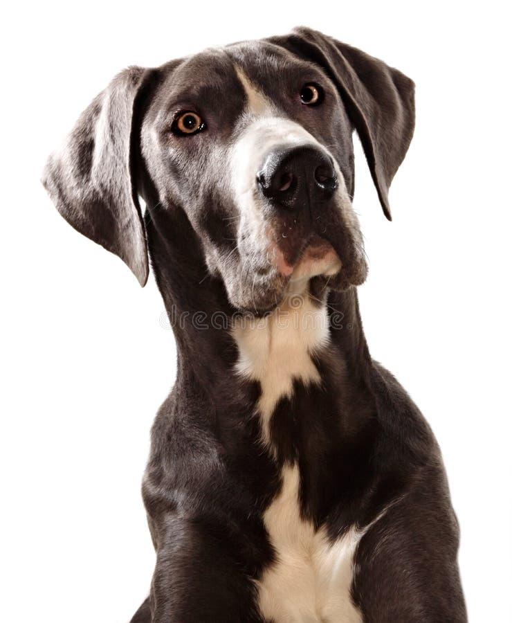Cane dei grandi danesi immagini stock