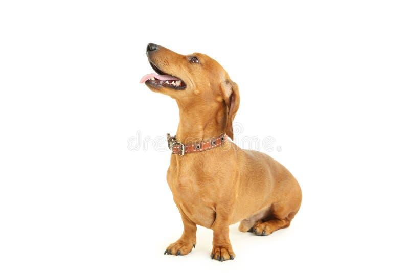 Cane del bassotto tedesco immagini stock libere da diritti