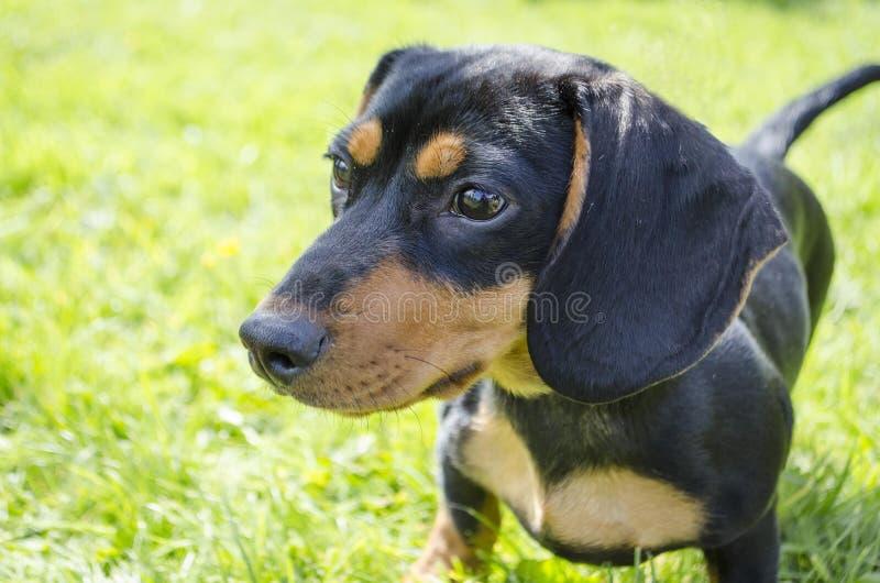Cane del bassotto tedesco fotografie stock