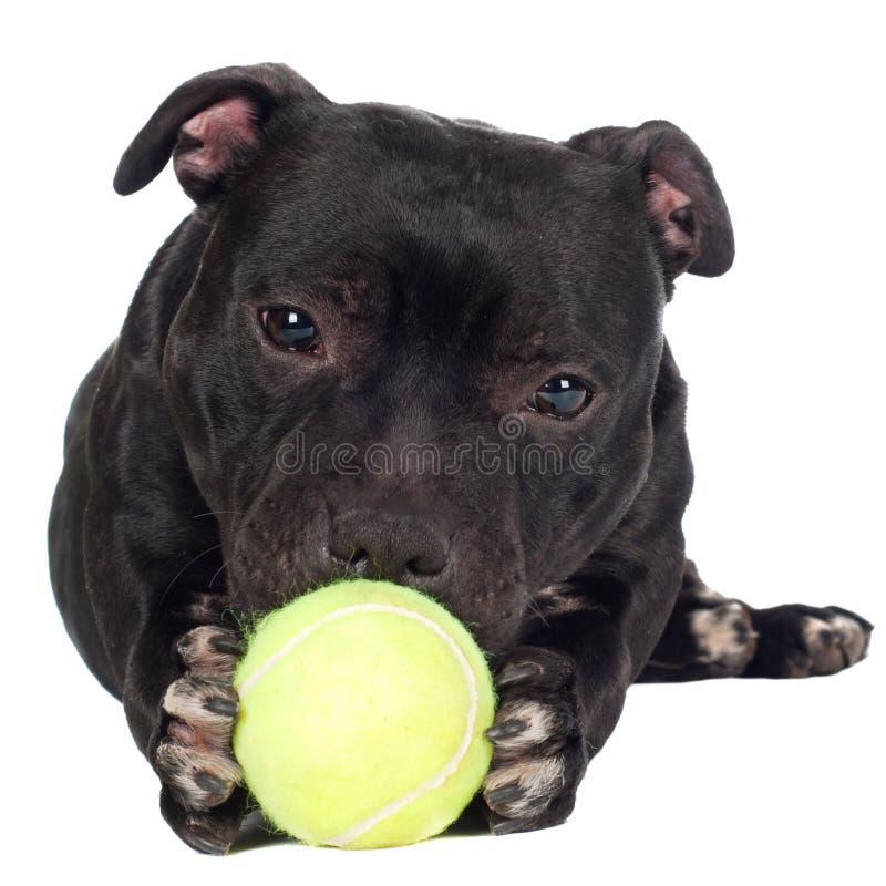 Bull terrier di Staffordshire che tiene una palla fotografie stock libere da diritti
