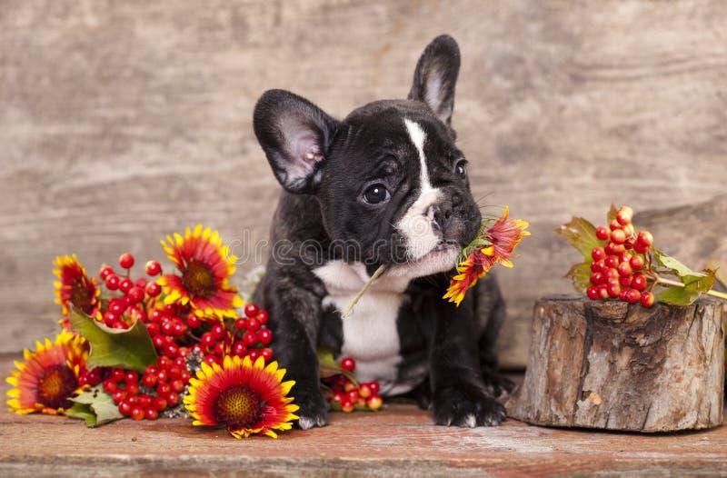 Cane del bulldog francese fotografie stock libere da diritti