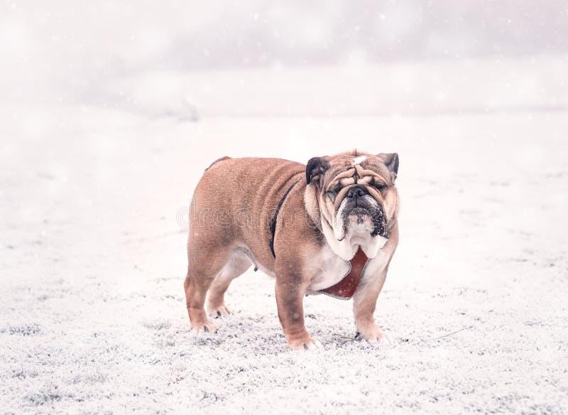 Cane del bulldog inglese rosso e nero che gioca sulla neve che esamina macchina fotografica fotografie stock libere da diritti