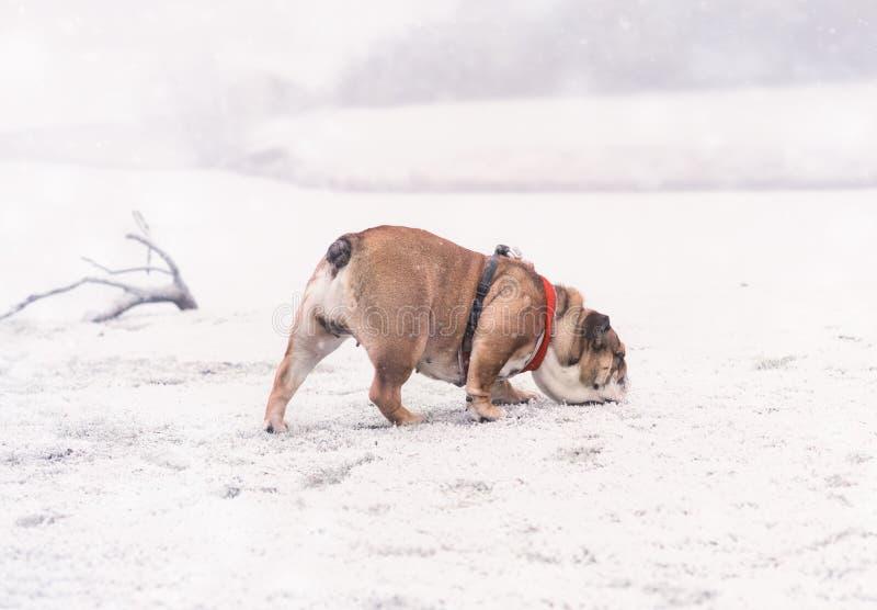Cane del bulldog inglese rosso e nero che gioca sulla neve e che fiuta qualcosa fotografia stock