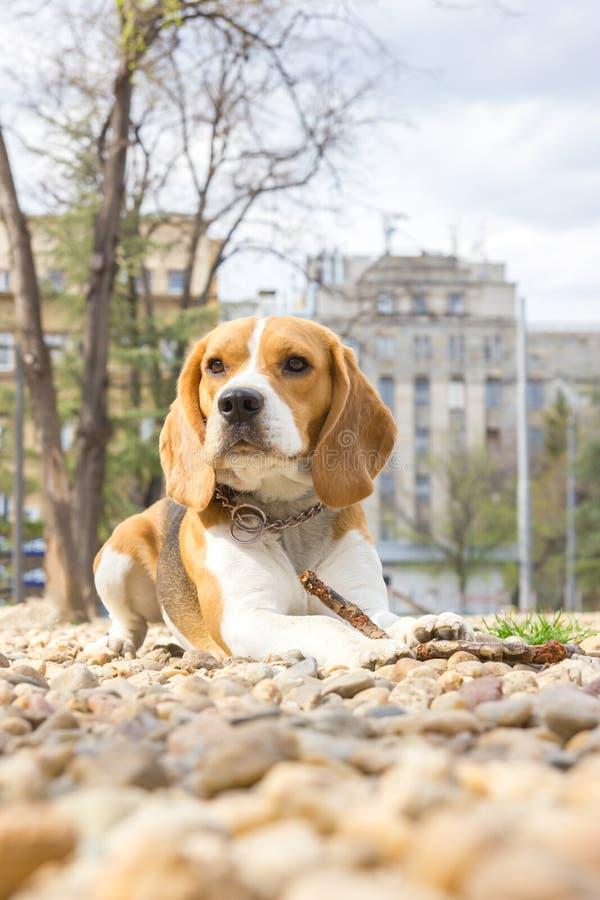 Cane del cane da lepre che si trova sulle rocce nel parco fotografia stock libera da diritti