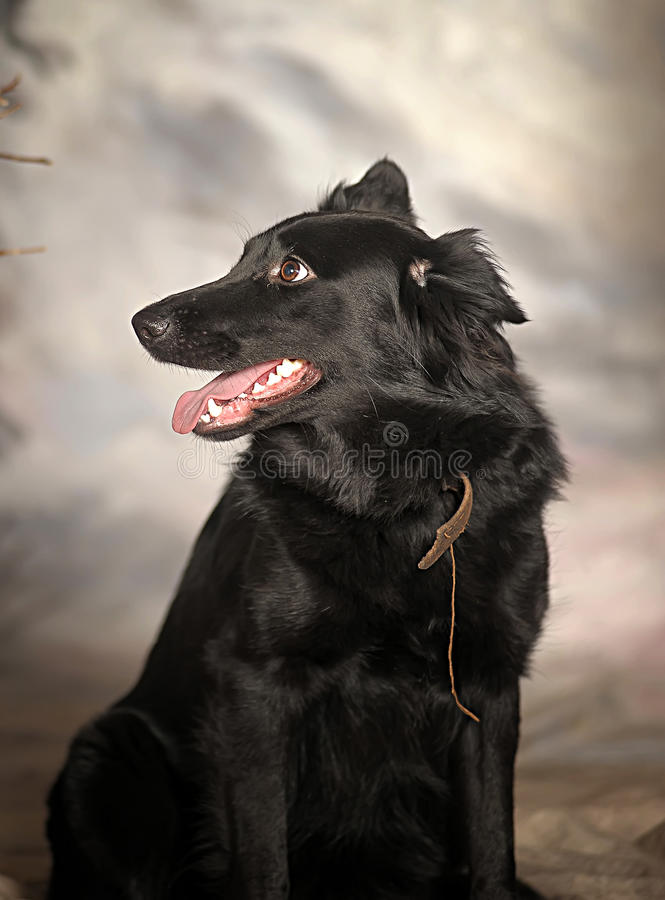 Cane del cane nero fotografie stock