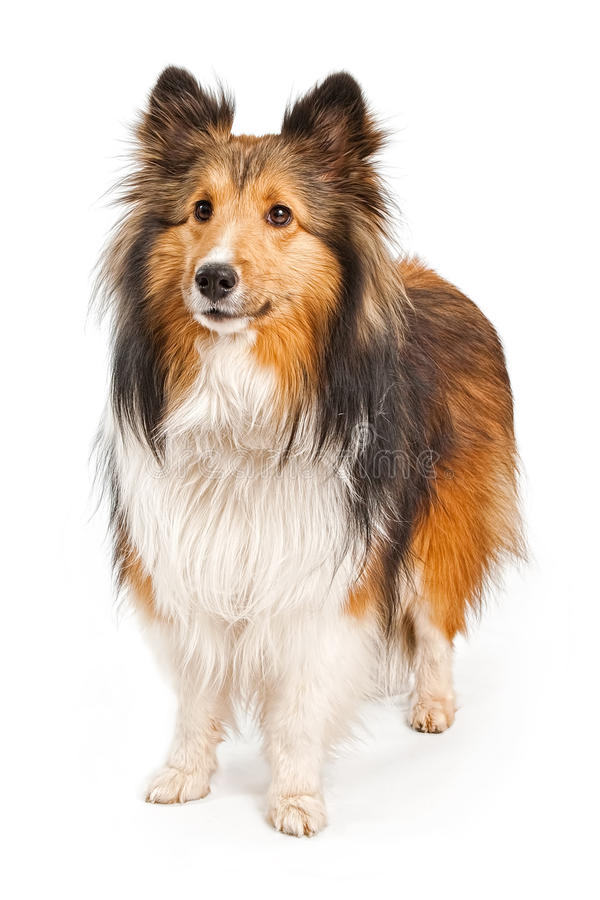 Cane del cane pastore di Shetland isolato su bianco fotografia stock libera da diritti