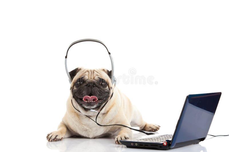 Cane del carlino con la cuffia isolata sul callcenter bianco del fondo immagini stock libere da diritti