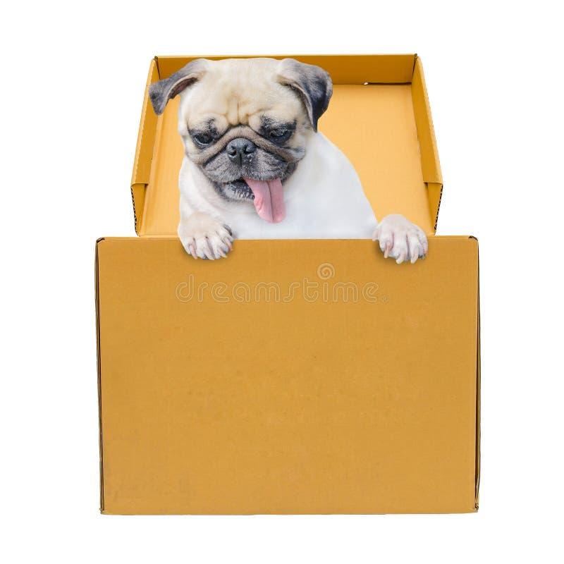 Cane del carlino in contenitore marrone di cartone isolato su fondo bianco fotografia stock libera da diritti