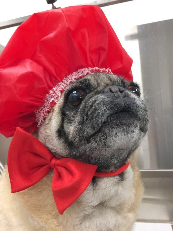 Cane del carlino di Brown in farfallino rosso di rosso del cappuccio della doccia immagine stock