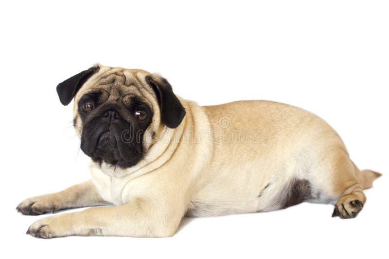 Cane del carlino isolato Sguardo triste con gli occhi grandi fotografia stock
