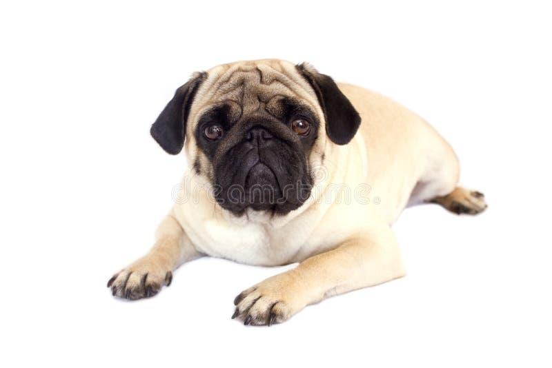 Cane del carlino isolato Sguardo triste con gli occhi grandi fotografie stock libere da diritti