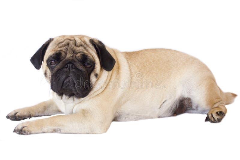 Cane del carlino isolato Sguardo triste con gli occhi grandi fotografie stock