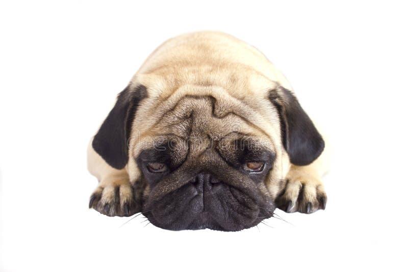 Cane del carlino isolato Sguardo triste con gli occhi grandi fotografia stock libera da diritti