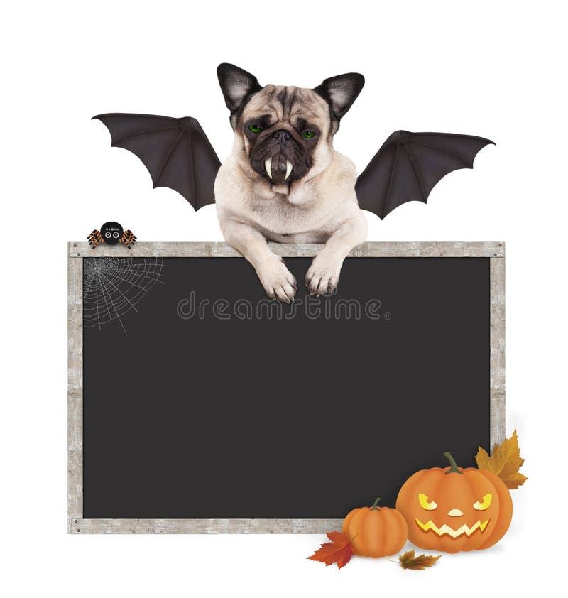 Cane del carlino del pipistrello di Halloween con le zampe sul segno in bianco della lavagna, con le zucche immagini stock libere da diritti