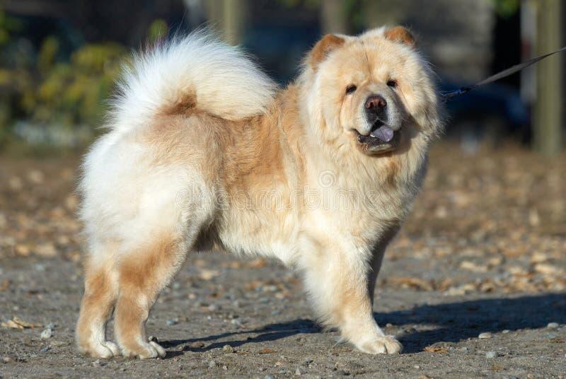Cane del chow-chow fotografia stock libera da diritti