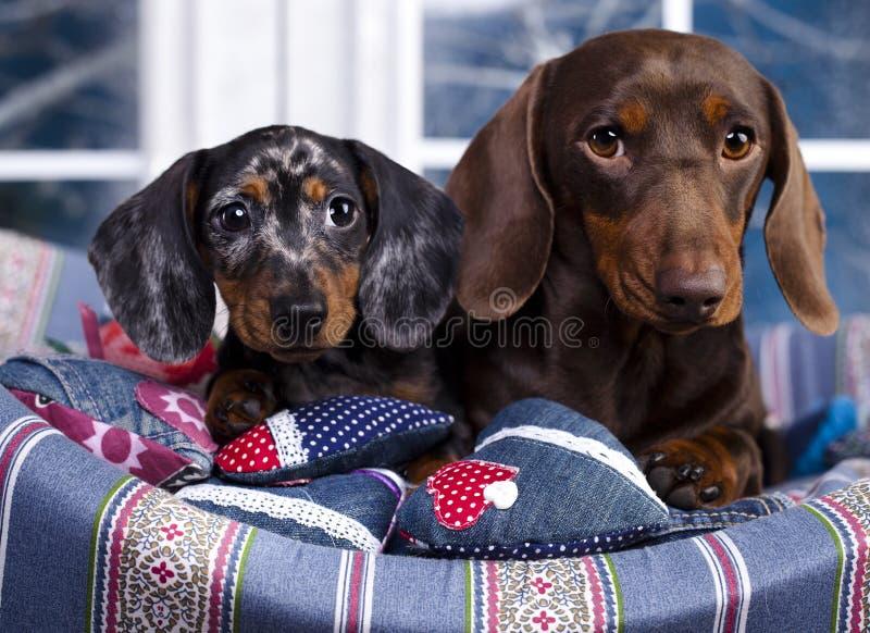 cane del cioccolato del bassotto tedesco e marmo del cucciolo fotografia stock libera da diritti