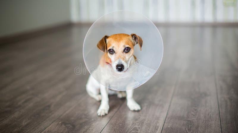 Cane del collare del veterinario immagine stock libera da diritti