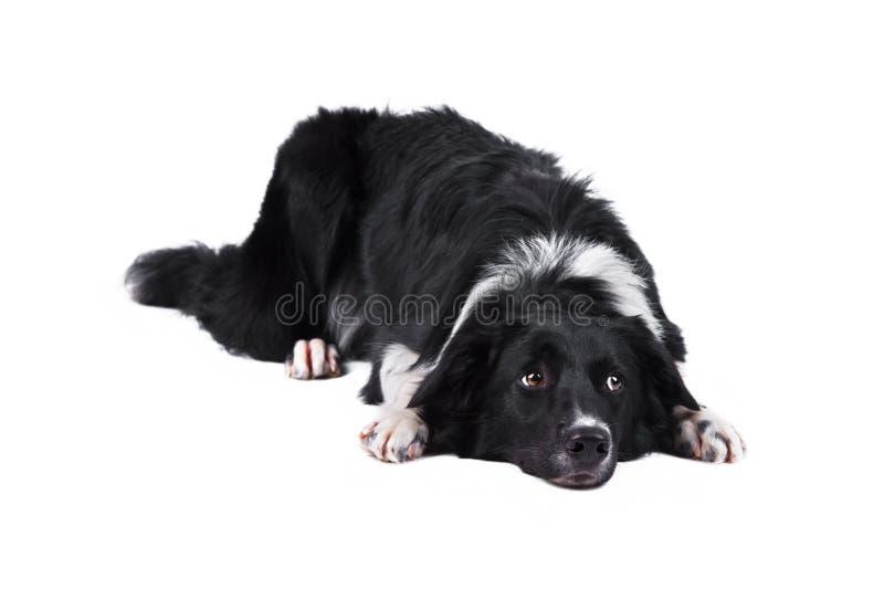 Cane del collie di bordo, isolato sul bianco immagini stock