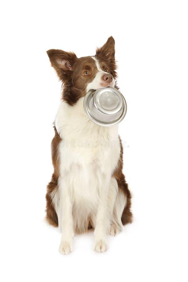 Cane del confine delle collie con la ciotola vuota di cibo per cani immagine stock libera da diritti