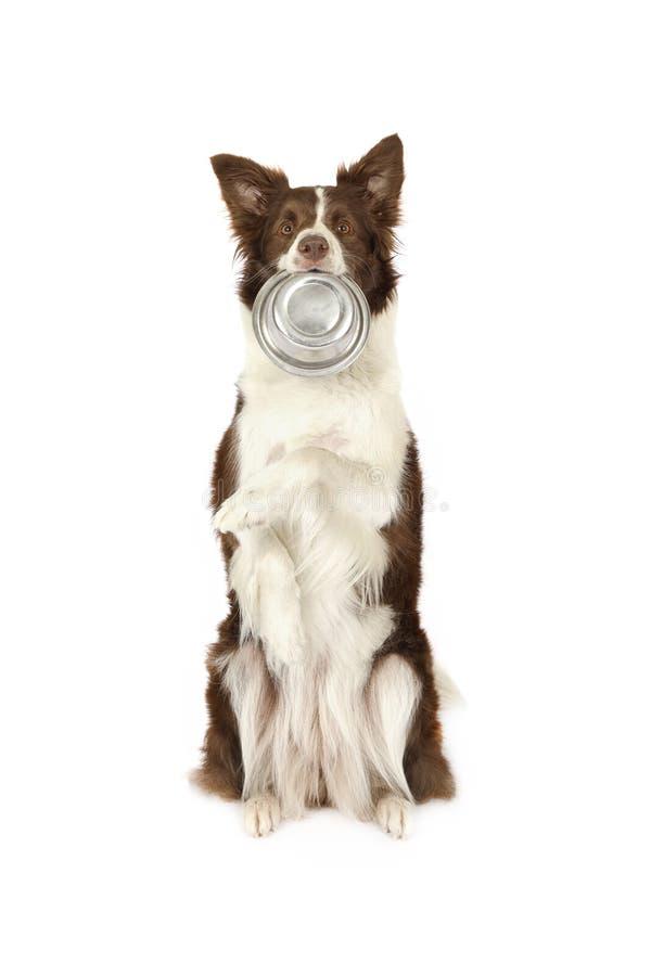 Cane del confine delle collie con la ciotola vuota nella sua bocca immagine stock