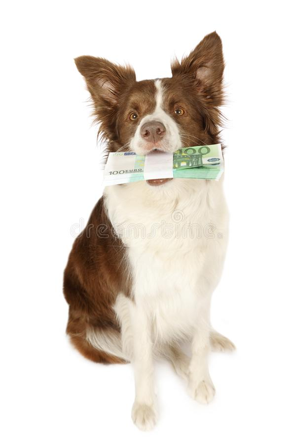 Cane del confine delle collie con la pila di fatture cento euro nella h fotografia stock
