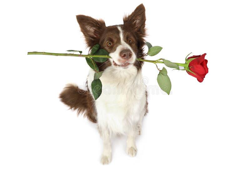 Cane del confine delle collie con la rosa rossa in suoi denti fotografie stock libere da diritti
