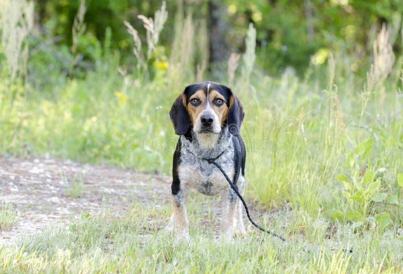 Cane del coniglio del segugio del cane da lepre immagini stock libere da diritti
