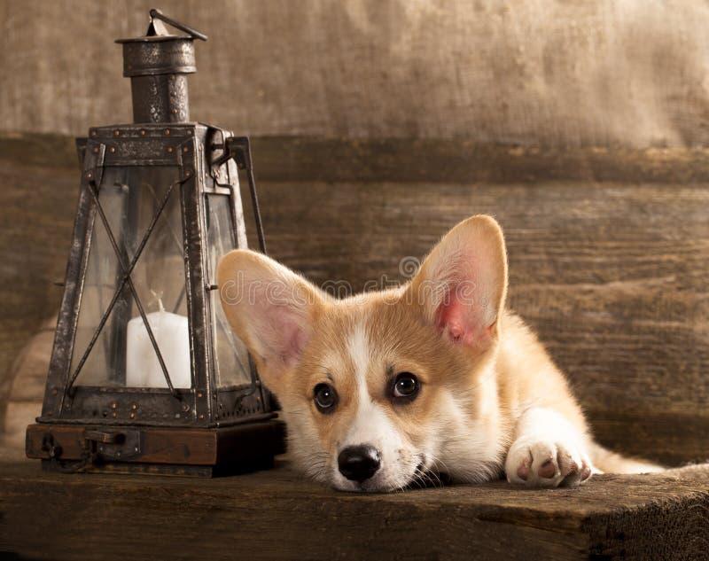 Cane del Corgi di Lingua gallese immagini stock libere da diritti