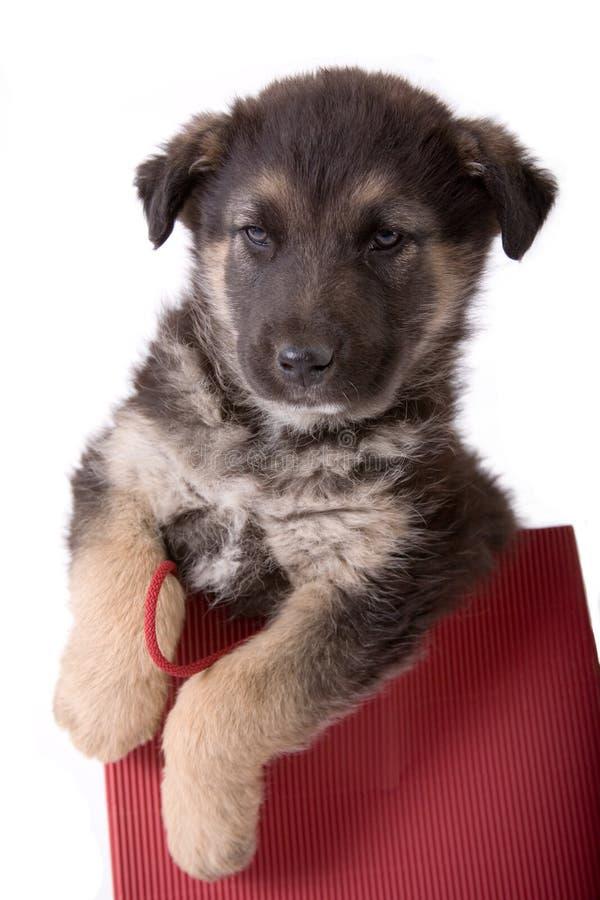 Cane del cucciolo che osserva da un sacchetto fotografie stock