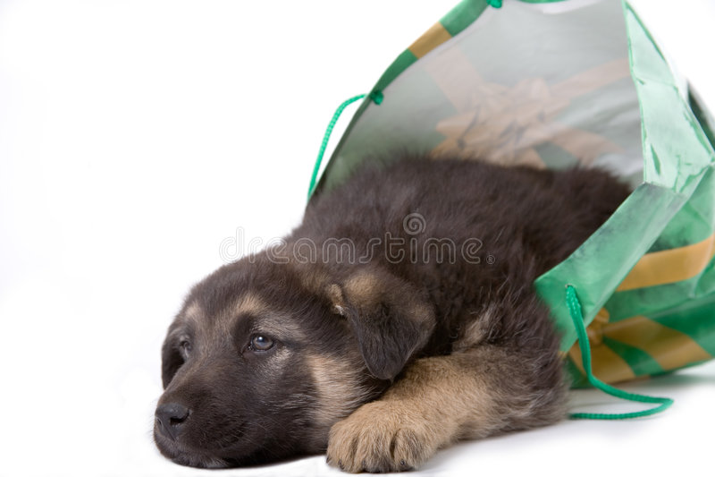 Cane del cucciolo che osserva da un sacchetto immagine stock