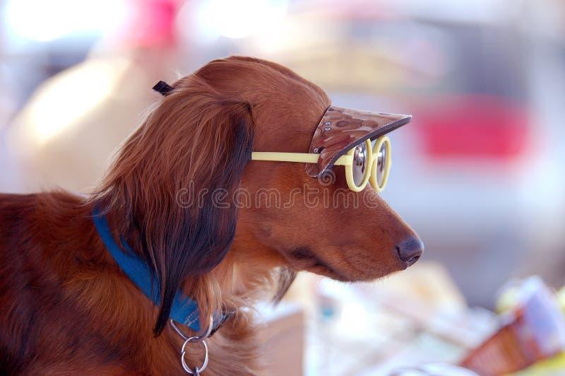 Cane del cucciolo degli occhiali da sole fotografie stock